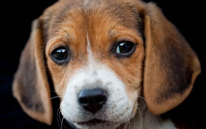 puppy wallpaper desktop