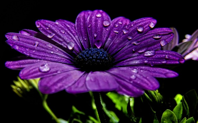 purple chrysanth flower