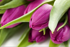purple tulips images free