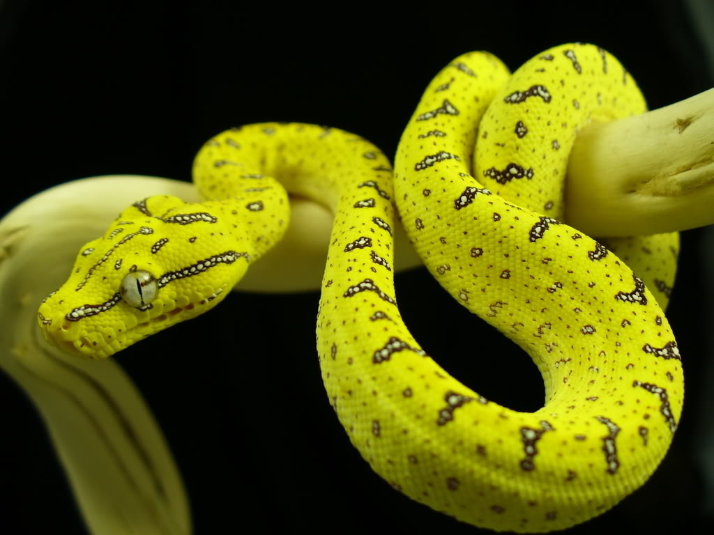 Yellow tree python