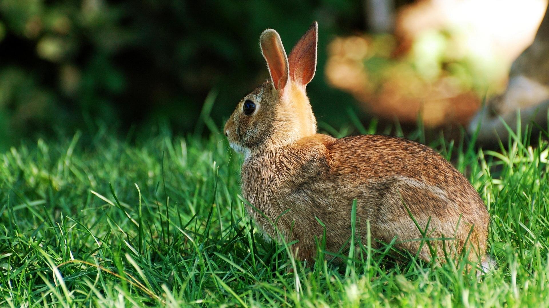 rabbit hd image