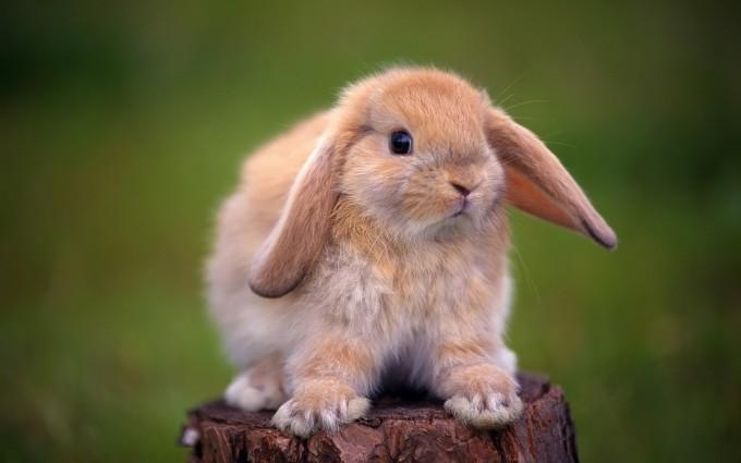 rabbit wallpapers hd