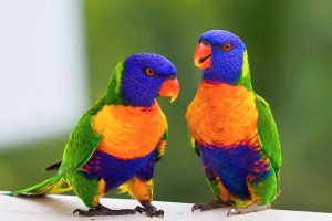 rainbow lorikeet A1