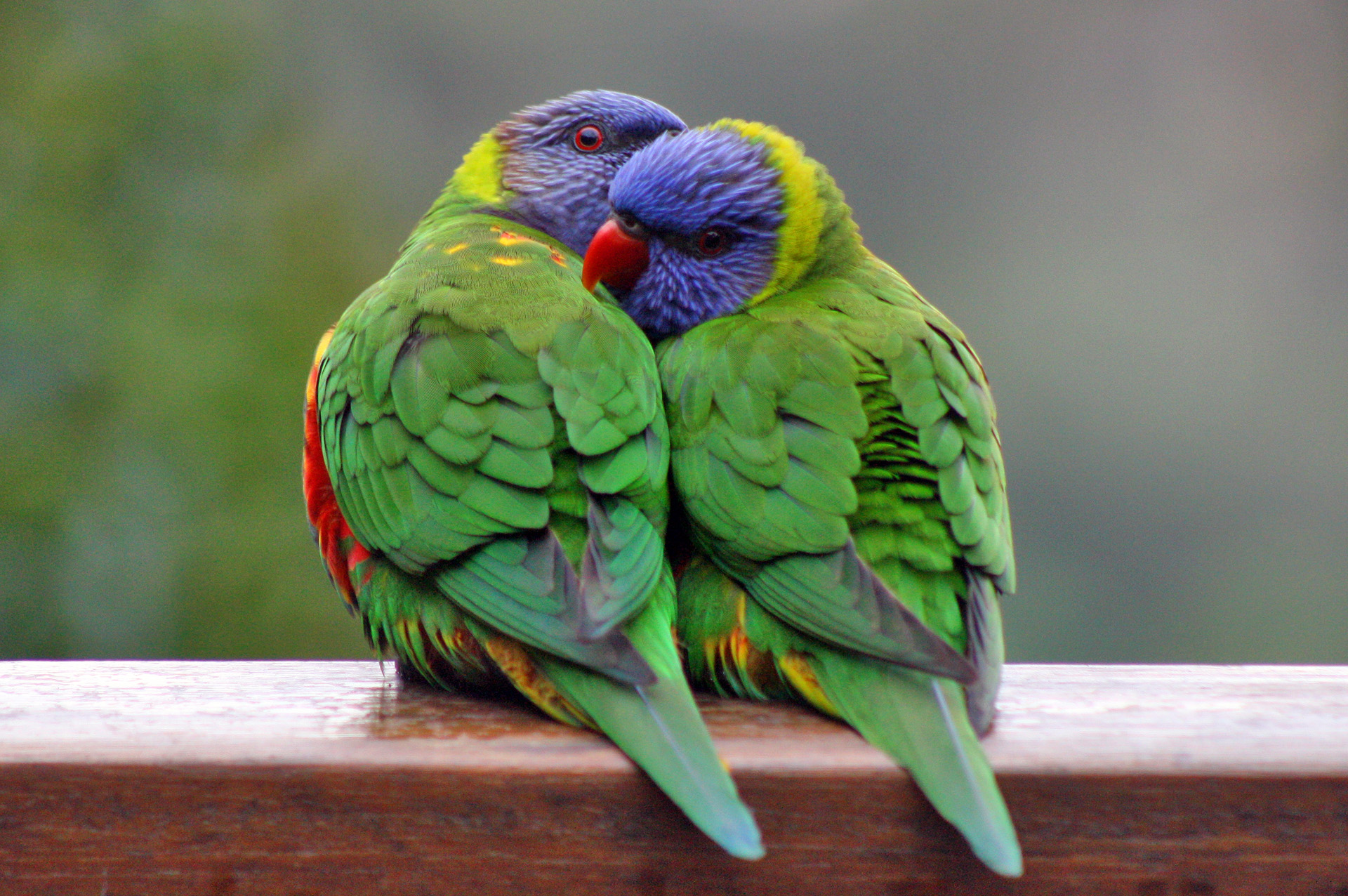rainbow lorikeet wallpaper
