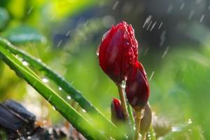 rainfall rose buds