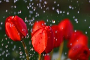 rainfall roses wallpaper