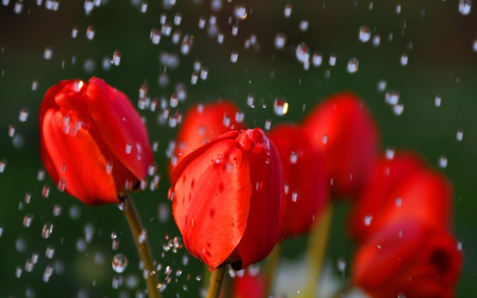 rainfall roses wallpaper