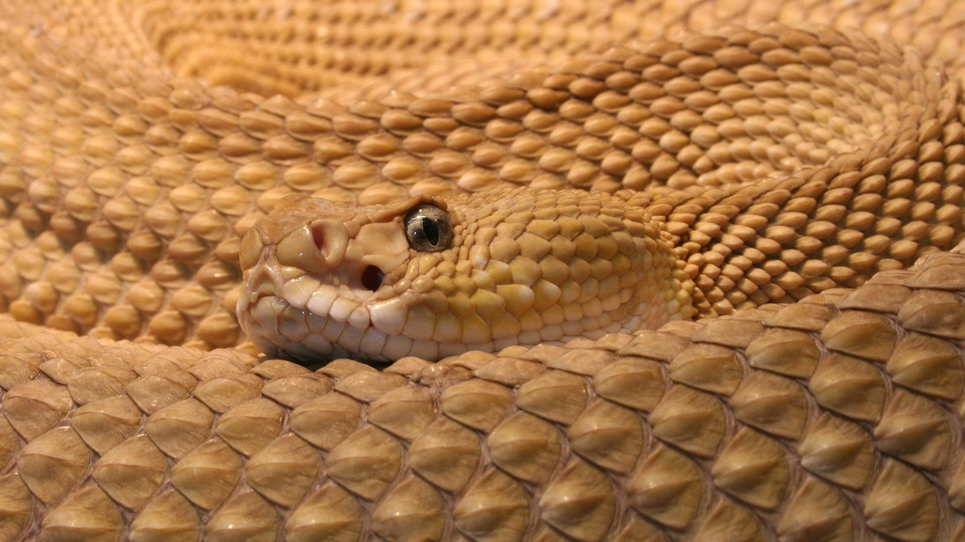 rattlesnake wallpaper 1080p