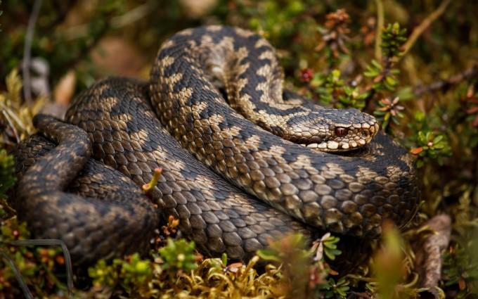 rattlesnake wallpapers