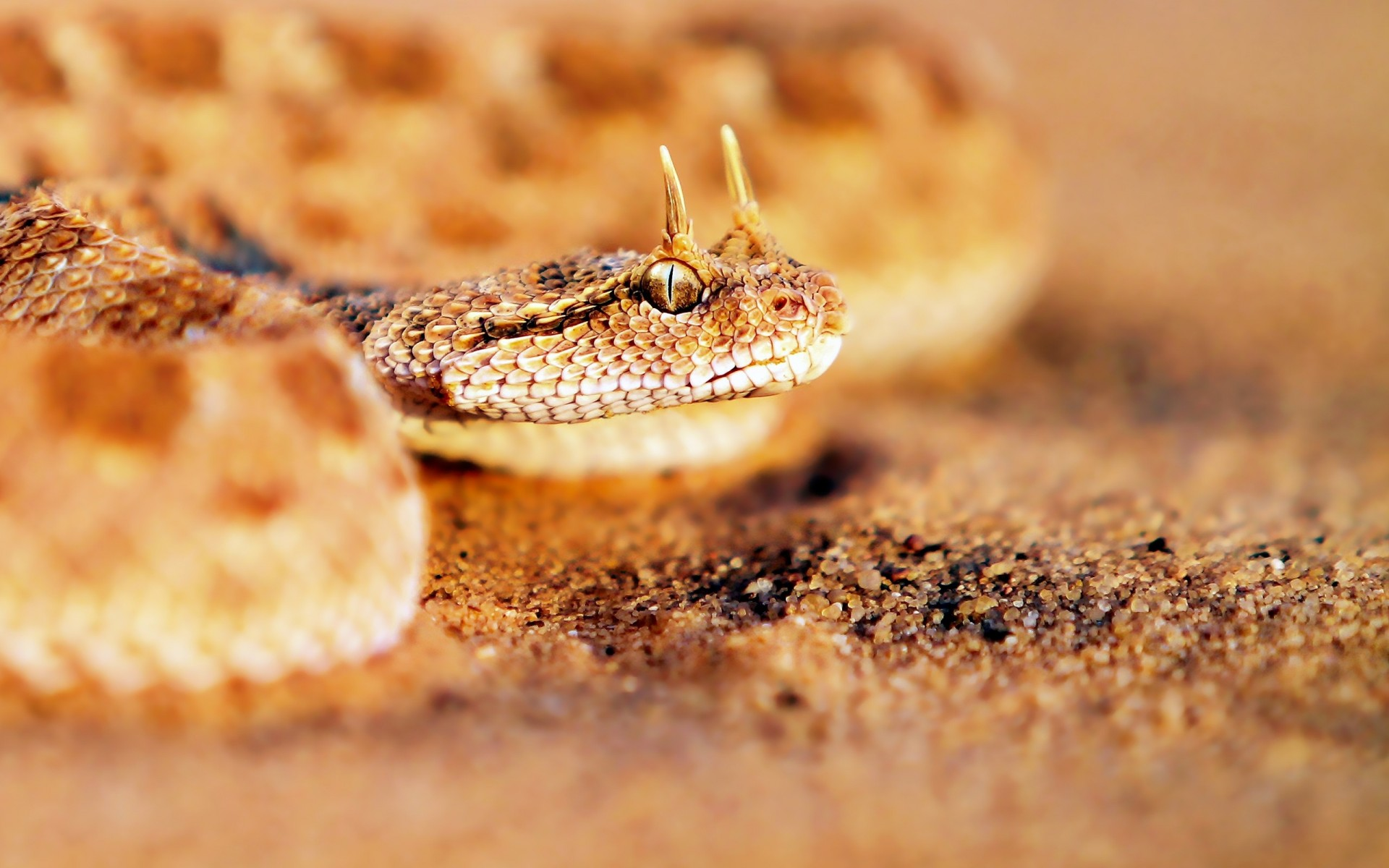 rattlesnake wallpapers hd
