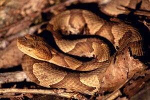 rattlesnakes hd