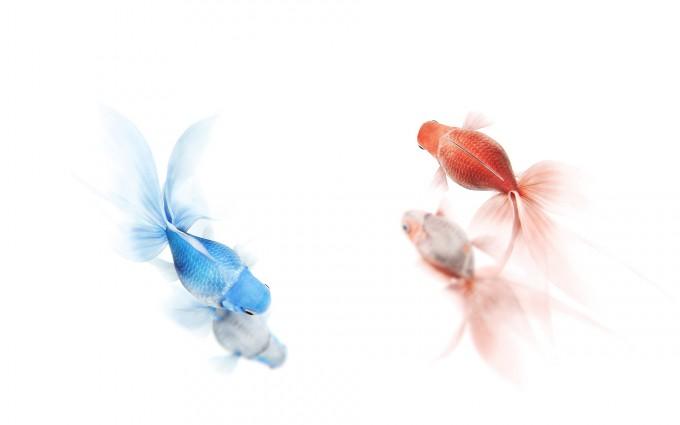 red blue goldfish