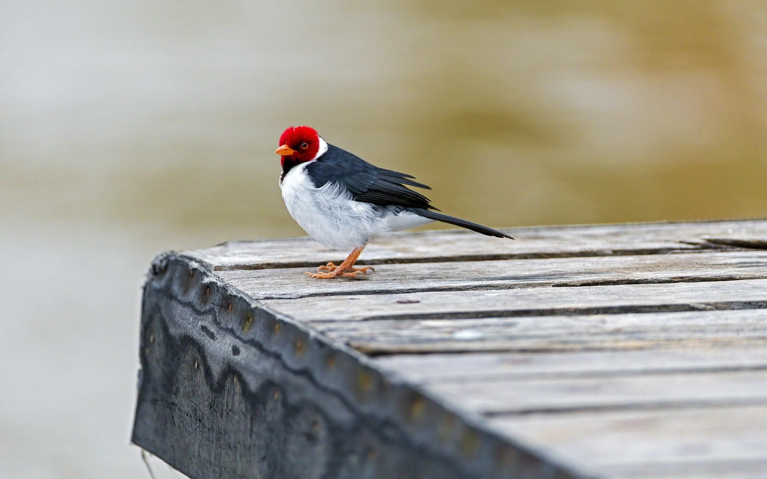 red capped cardinal bird
