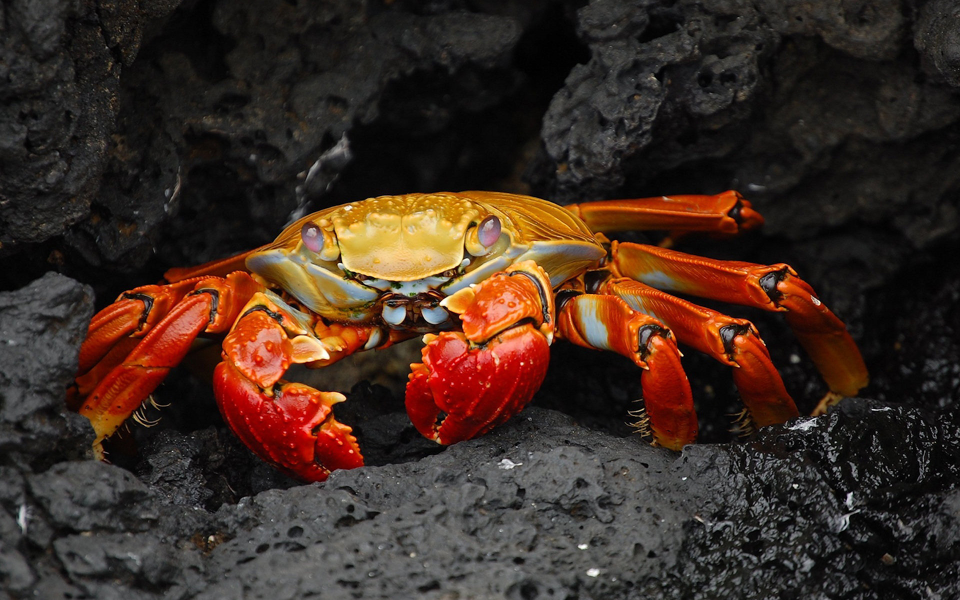 red colored crab