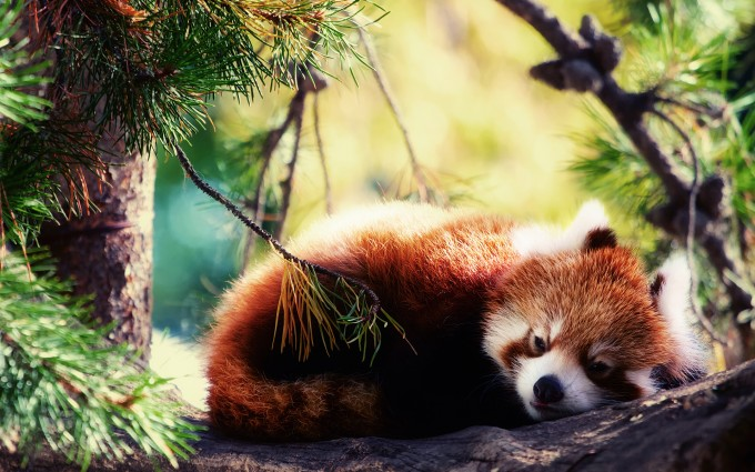 red panda forest