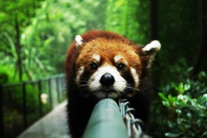 red panda funny