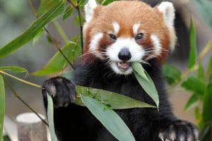 red panda image hd