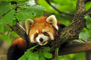 red panda images hd