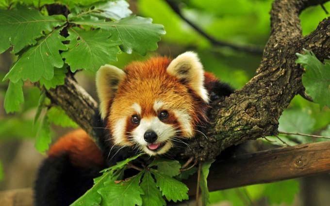 red panda images hd