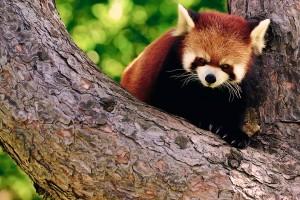 red panda nature