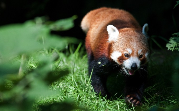 red panda picture hd