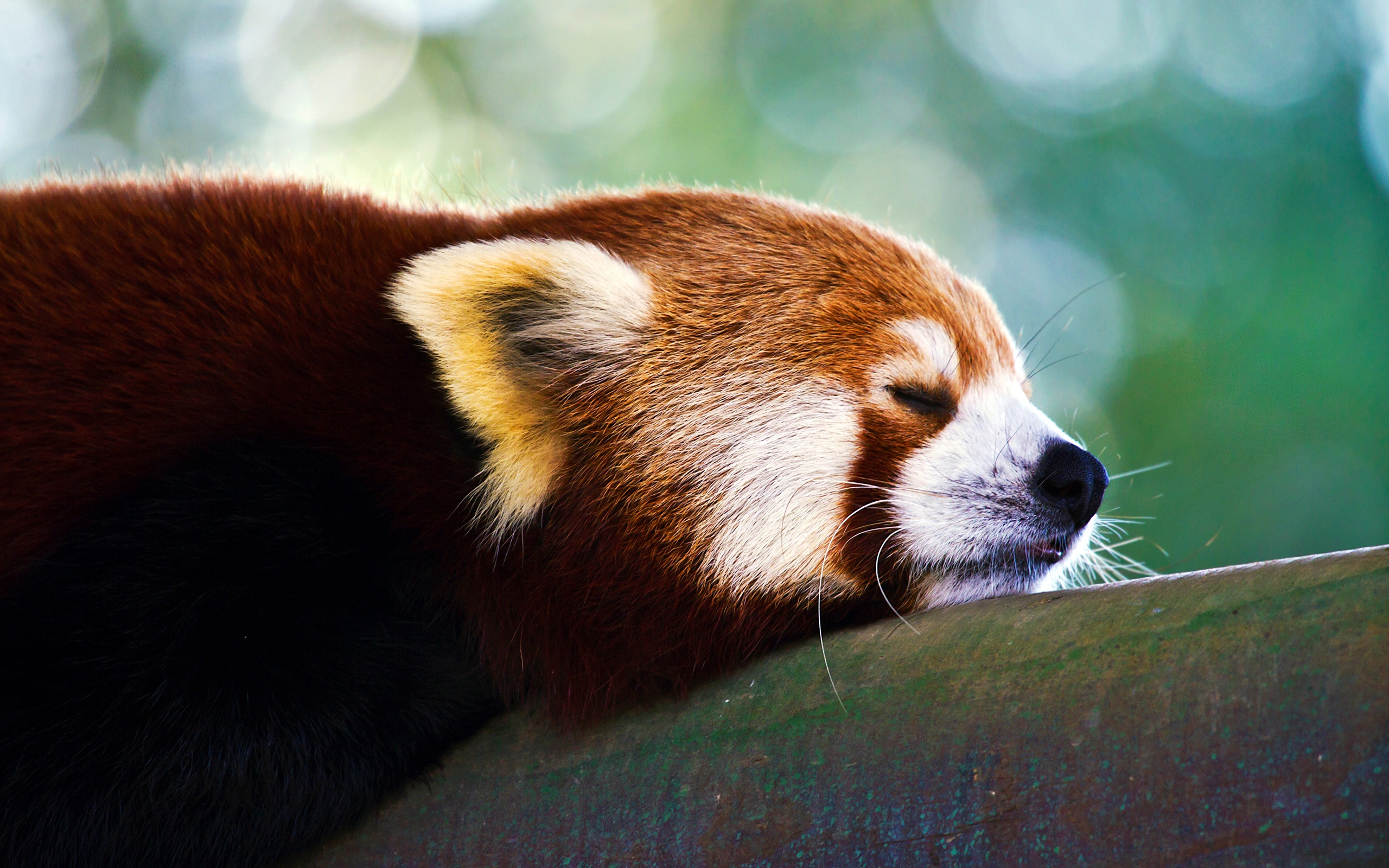 red panda pictures hd