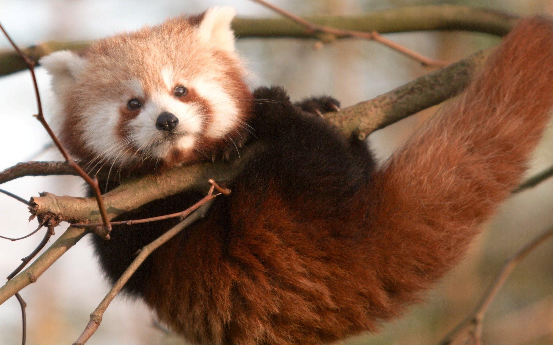 red panda wallpapers