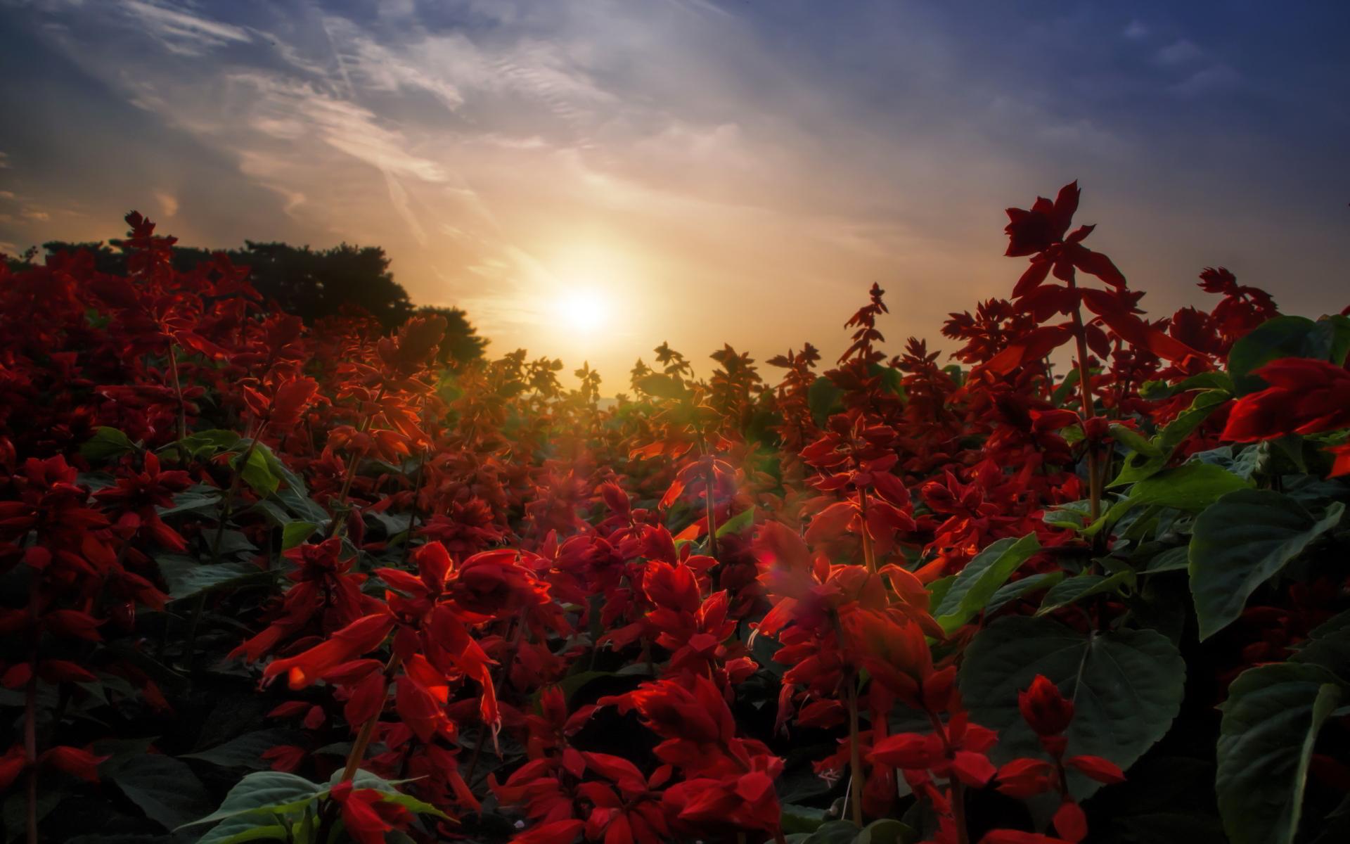red salvia flowers