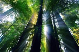 redwood nature