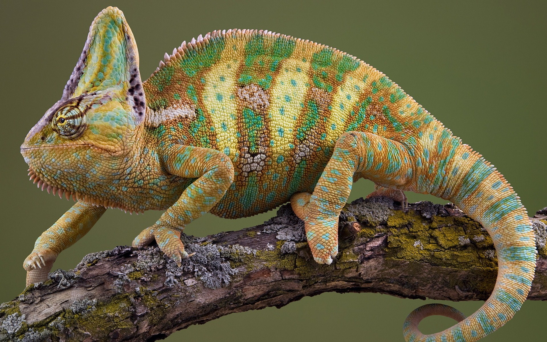 reptile chameleon wallpapers