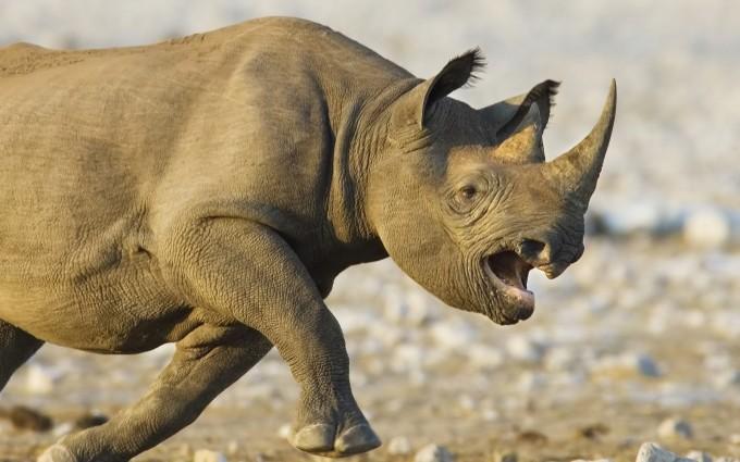 rhino animal wallpaper