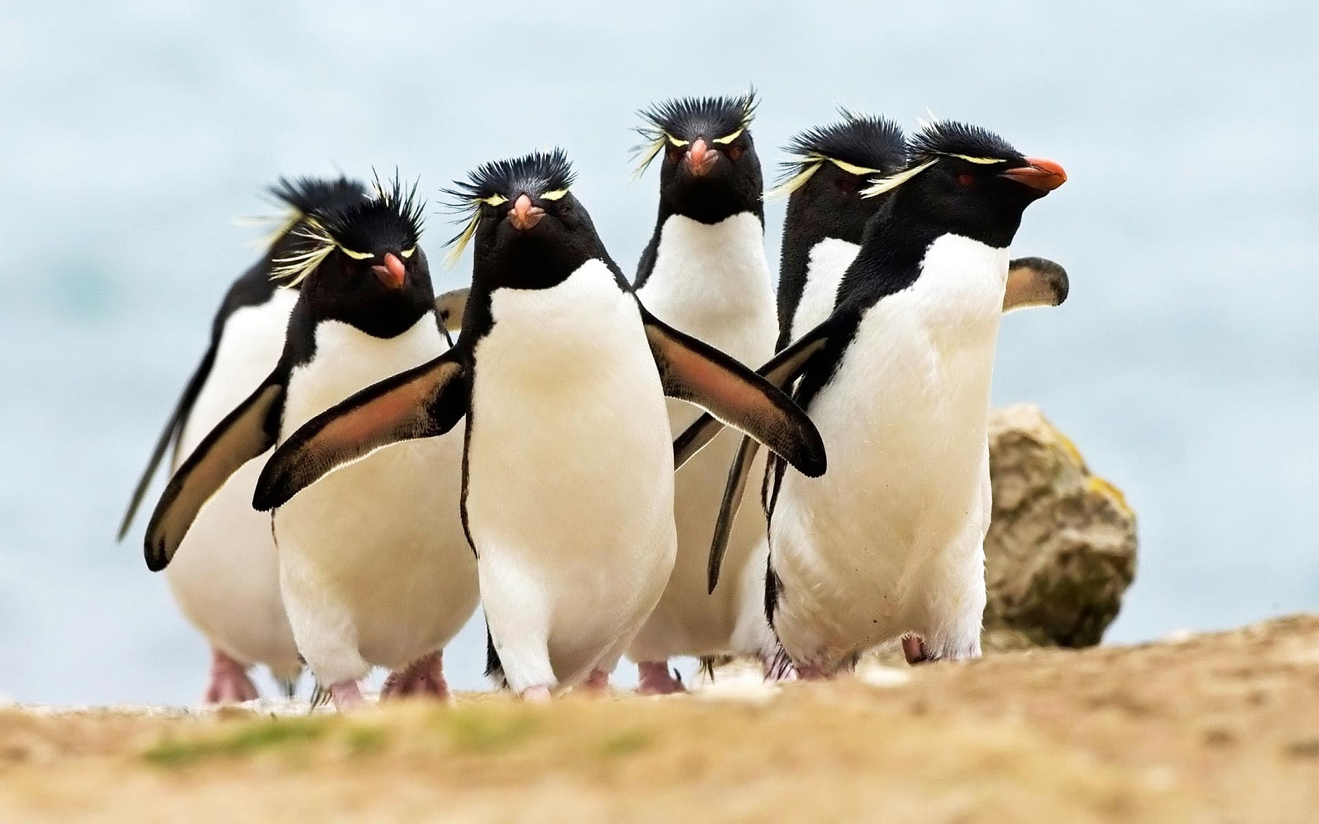 rockhopper penguin wallpaper