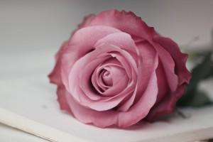 rose pink hd