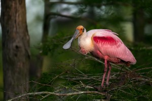 roseate spoonbill wallpaper