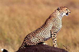 running cheetah pictures