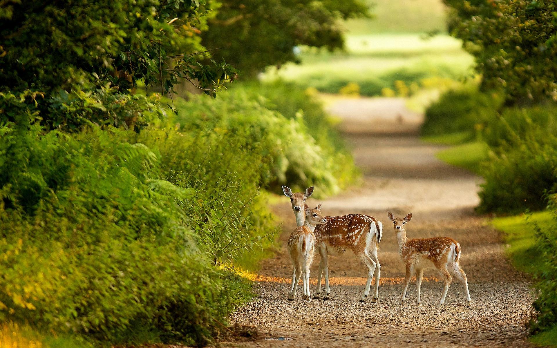 running deer wallpaper