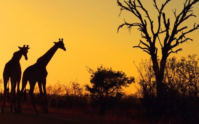 safari wallpaper hd africa