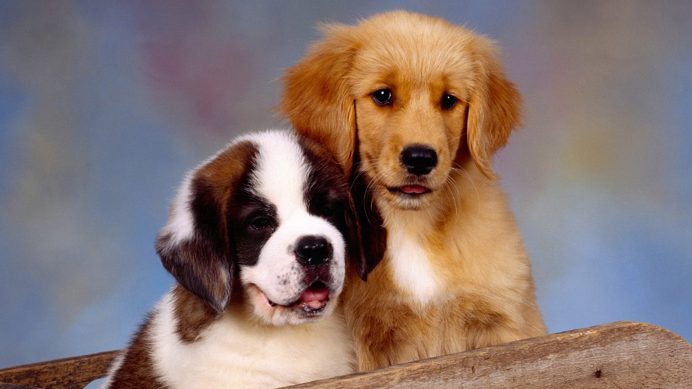 Saint Bernard Dog Breed - HD Desktop Wallpapers