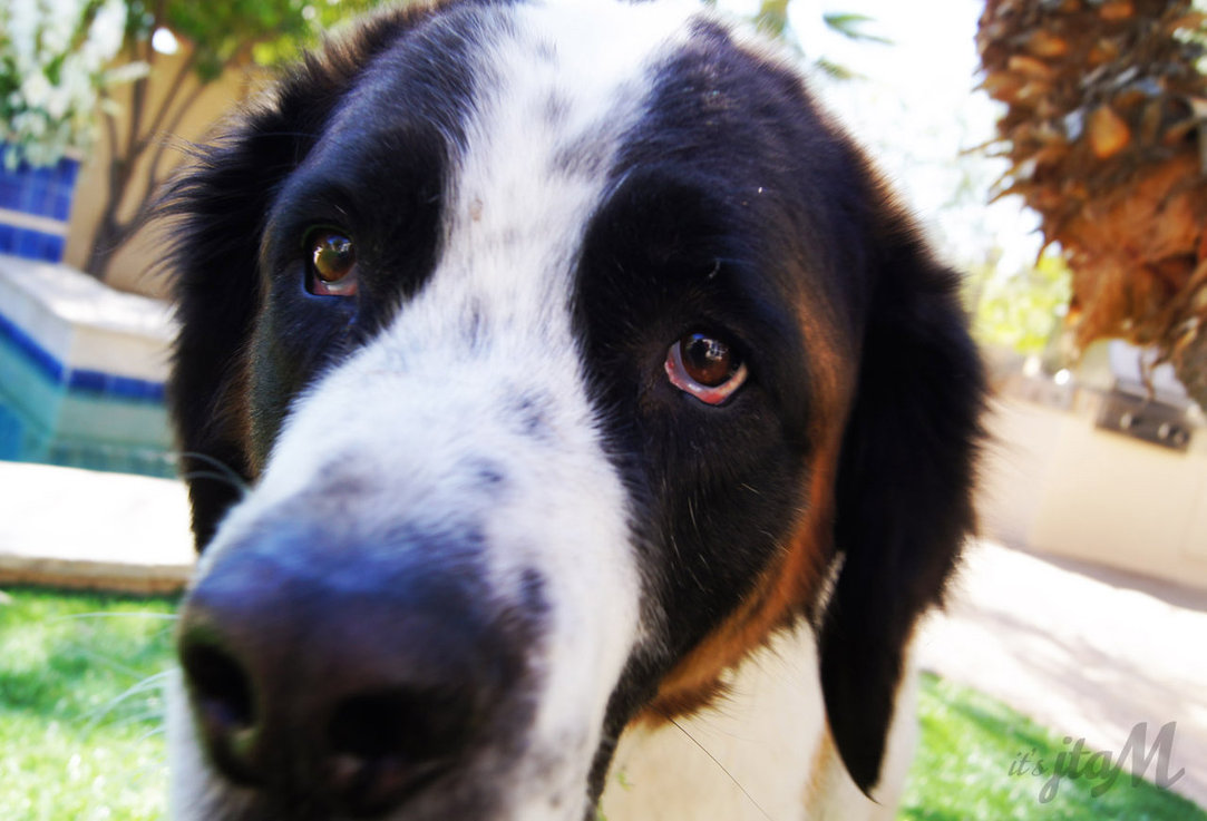 Saint Bernard Dog Price - HD Desktop Wallpapers