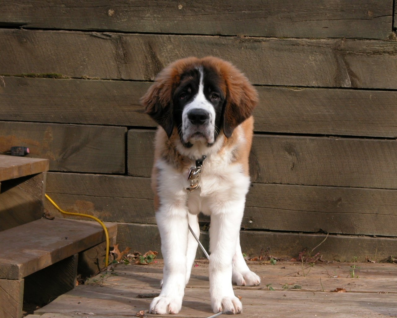 Saint Bernard Dog - HD Desktop Wallpapers