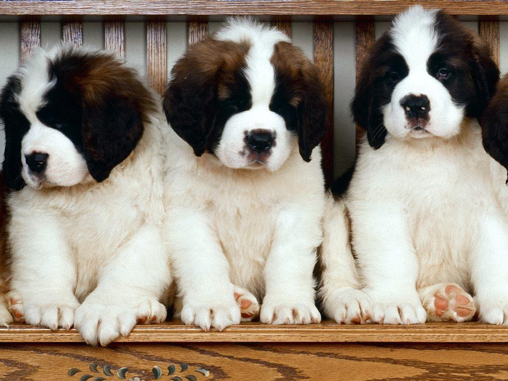 Saint Bernard Hd - HD Desktop Wallpapers