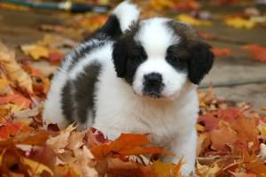 saint bernard puppies