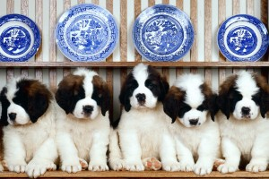 saint bernard puppies cute
