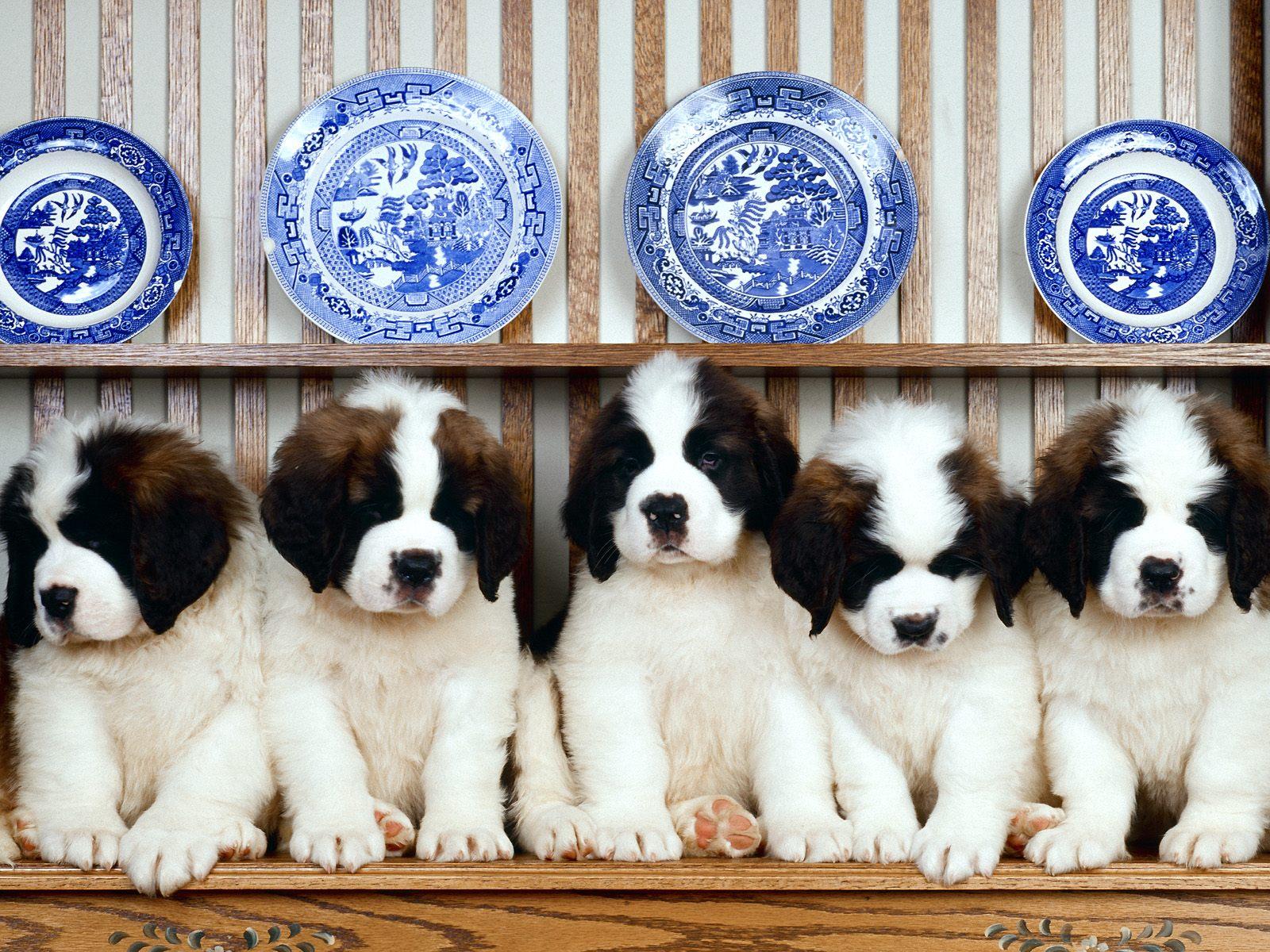 saint bernard puppies cute