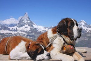 saint bernard wallpaper