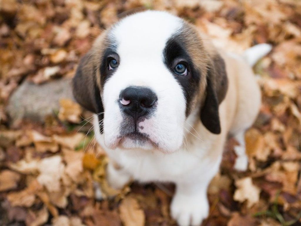 Saint Bernard - HD Desktop Wallpapers