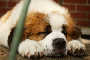 saint bernards dog breed