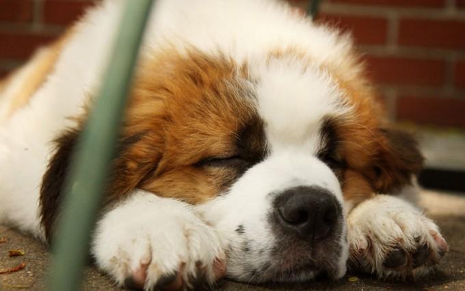 saint bernards dog breed