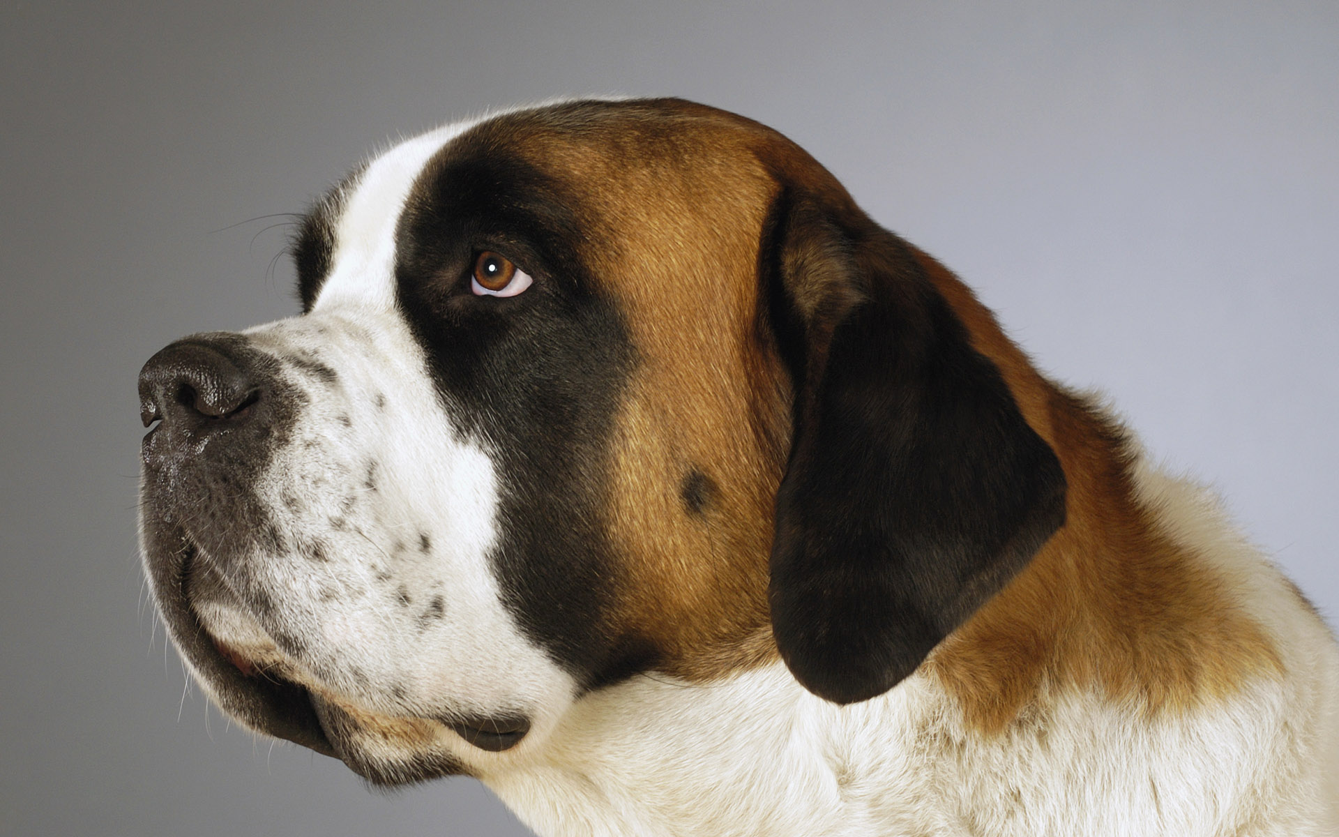 Side profile of a St. Bernard dog looking up