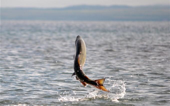 salmon wallpaper
